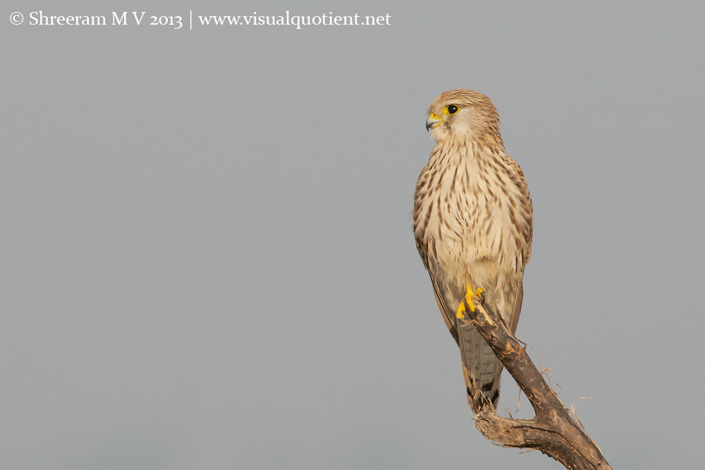 Common Kestrel - Portrait