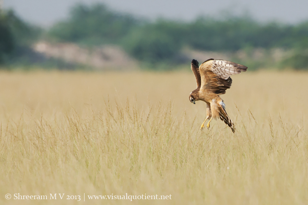 Montagu's Harrier - Double checking on target