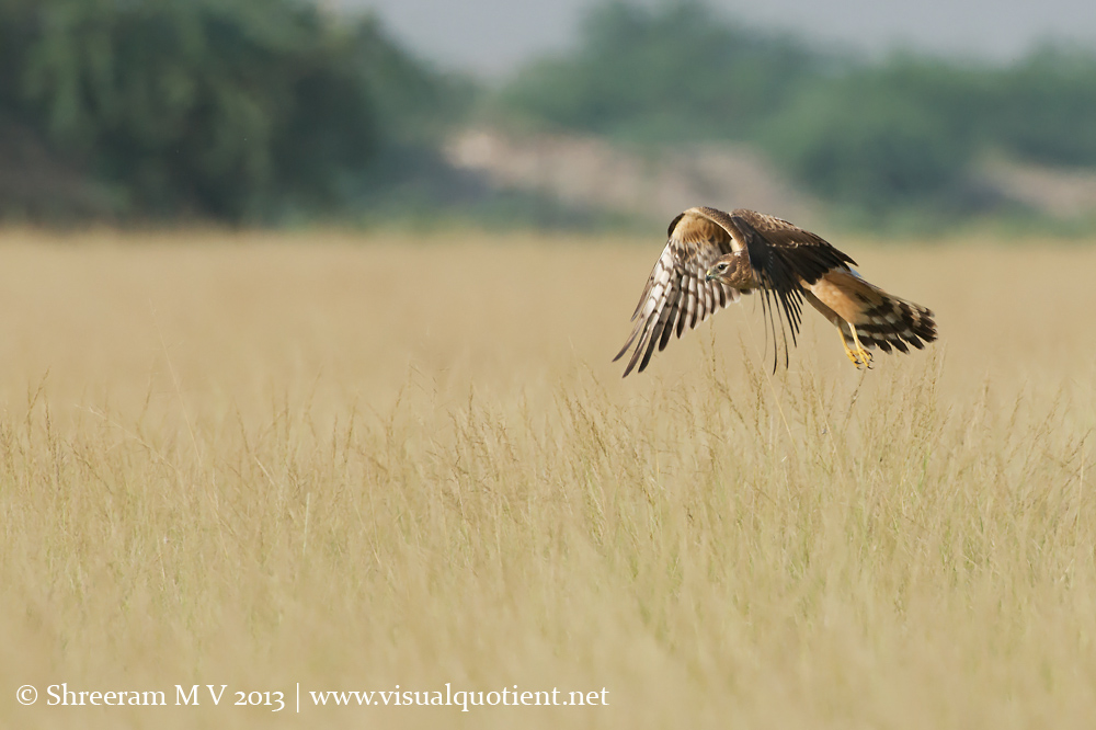 Montagu's Harrier - Well, doesn't look interesting from up-close