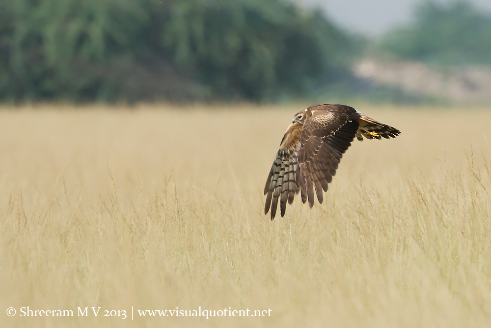 Montagu's Harrier - Off to find another meal