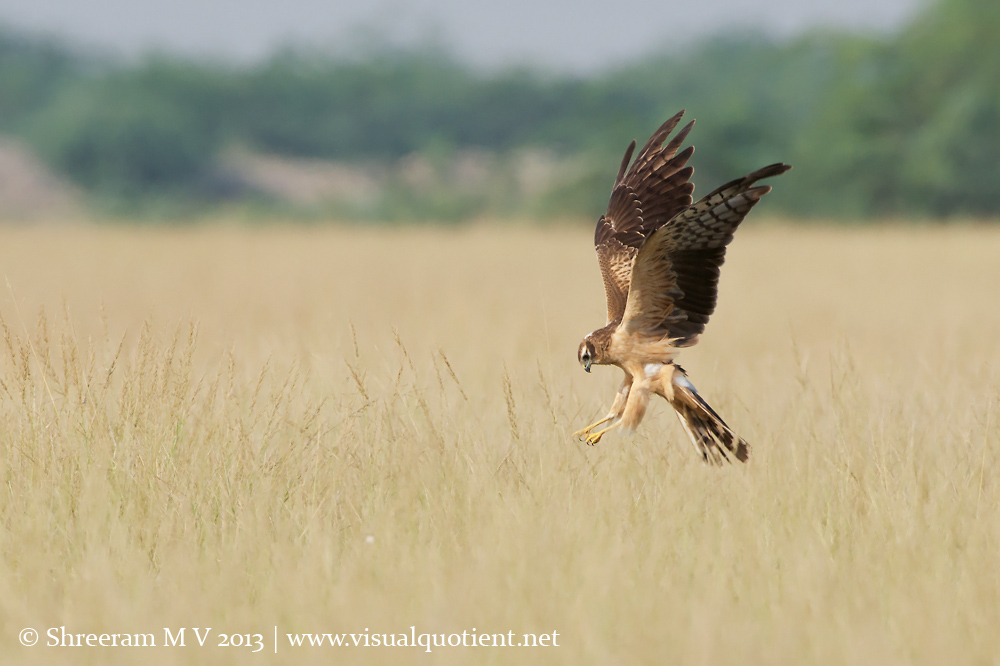 Montagu's Harrier - Seems like breakfast is served