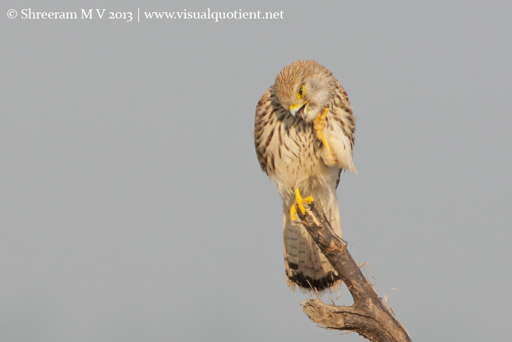 Common Kestrel Scratching - 1