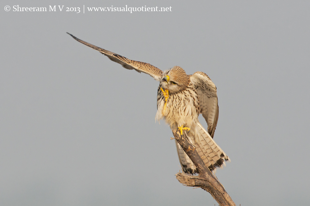 Common Kestrel Scratching - 3
