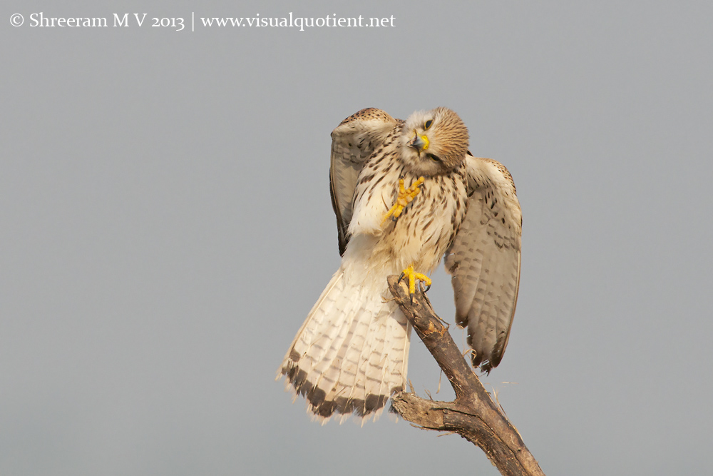 Kestrel Scratching - 2