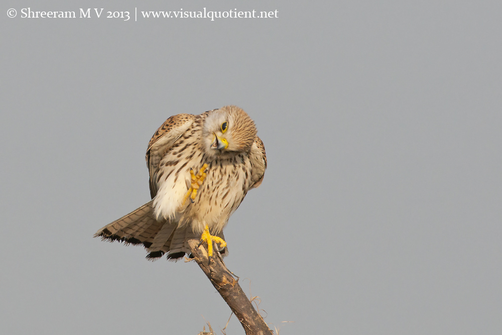 Common Kestrel Scratching - 4