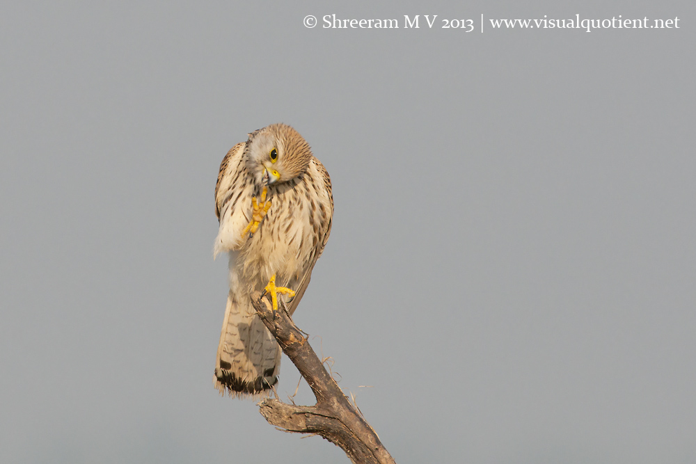Common Kestrel Scratching - 5