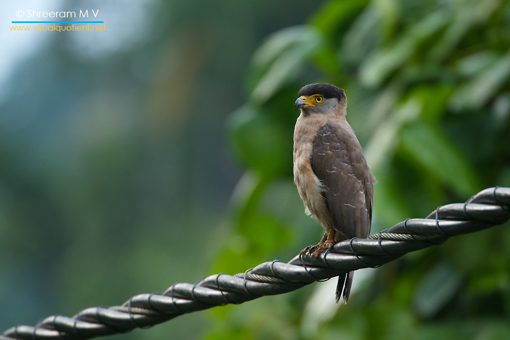 Great Nicobar Serpent Eagle (Spilornis klossi) - The world's smallest eagle
