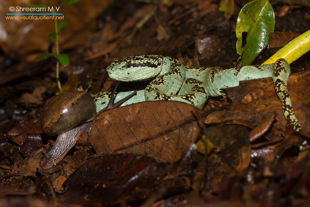 Snail cuddling up to Malabar Pit Viper