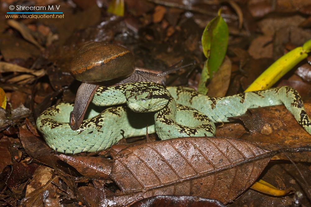 Snail crawling on Malabar Pit Viper!