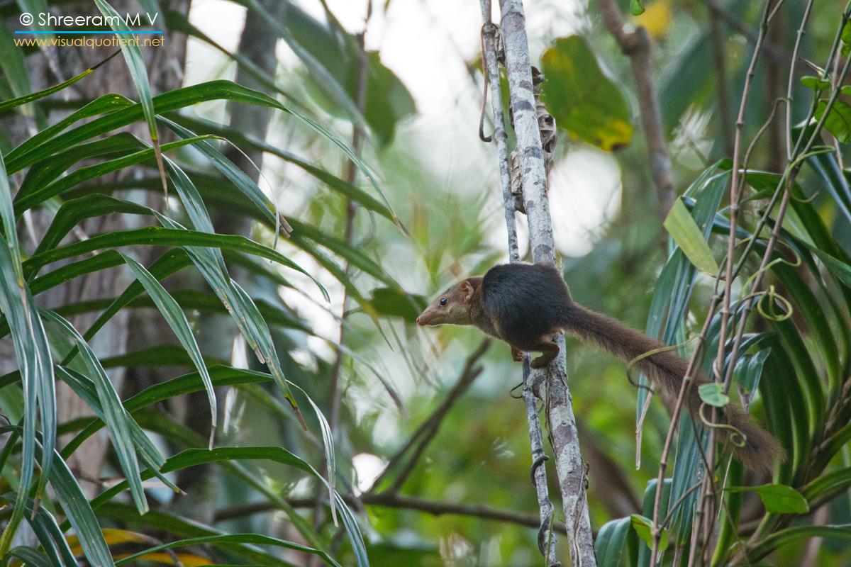 Nicobar Treeshrew (Tupaia nicobarica nicobarica)