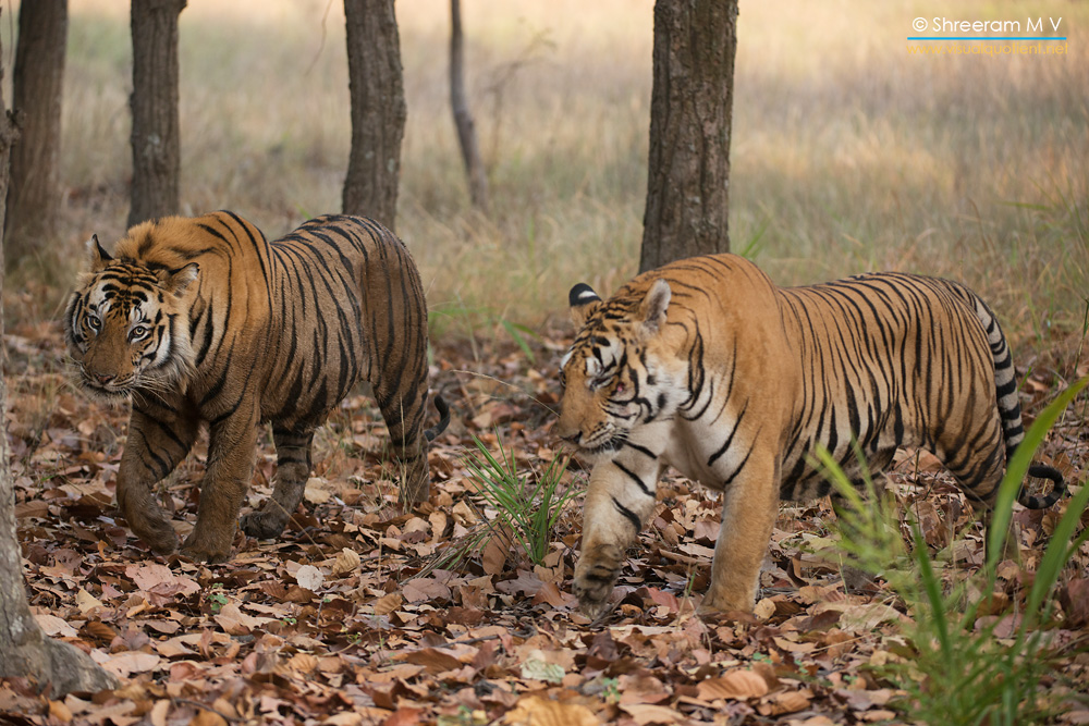 Two Hunks from Bandhavgarh