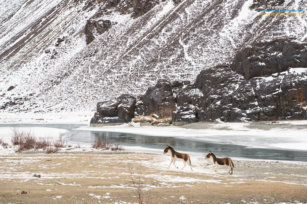 Kiangs (Equus kiang) in the Ladakh winter