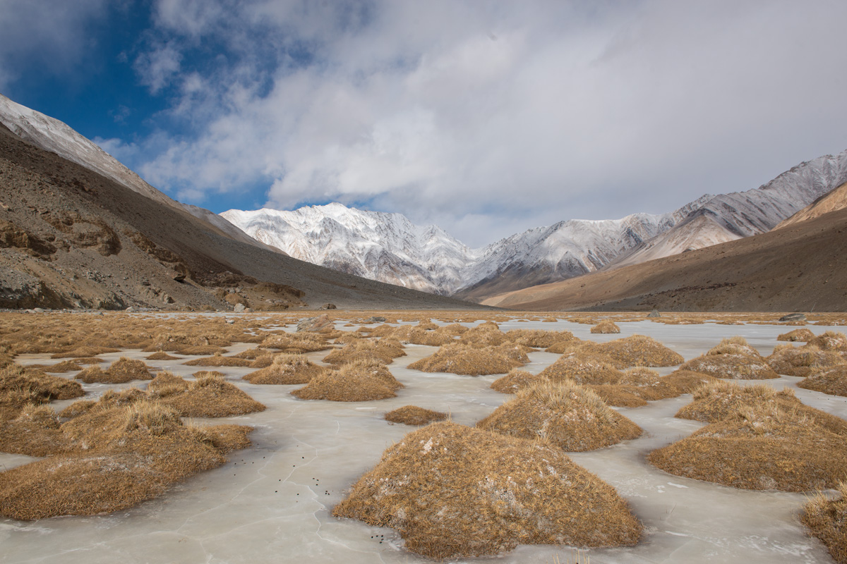 HEAPS OF GOLD - A frozen marsh with small grassy patches enroute to Pangong Tso
