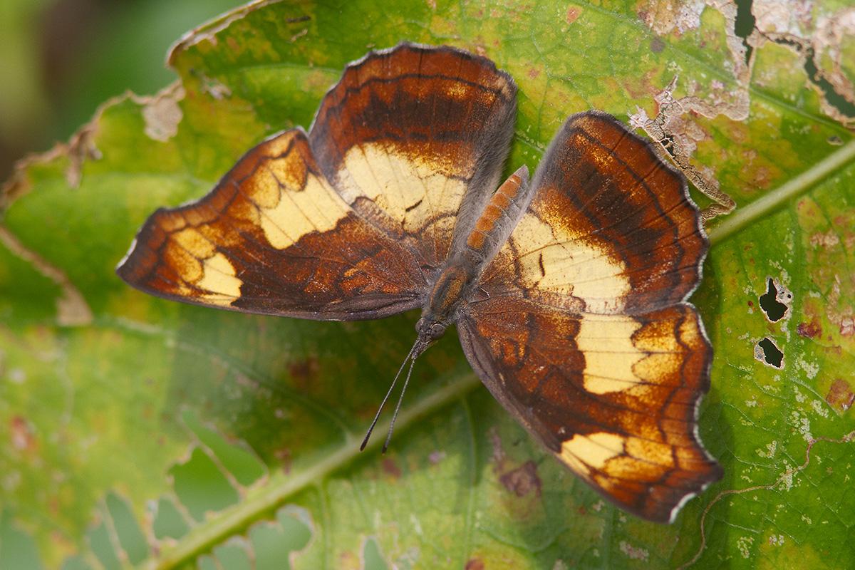 Andaman Banded Dandy (Laringa horsfieldii andamanensis)
