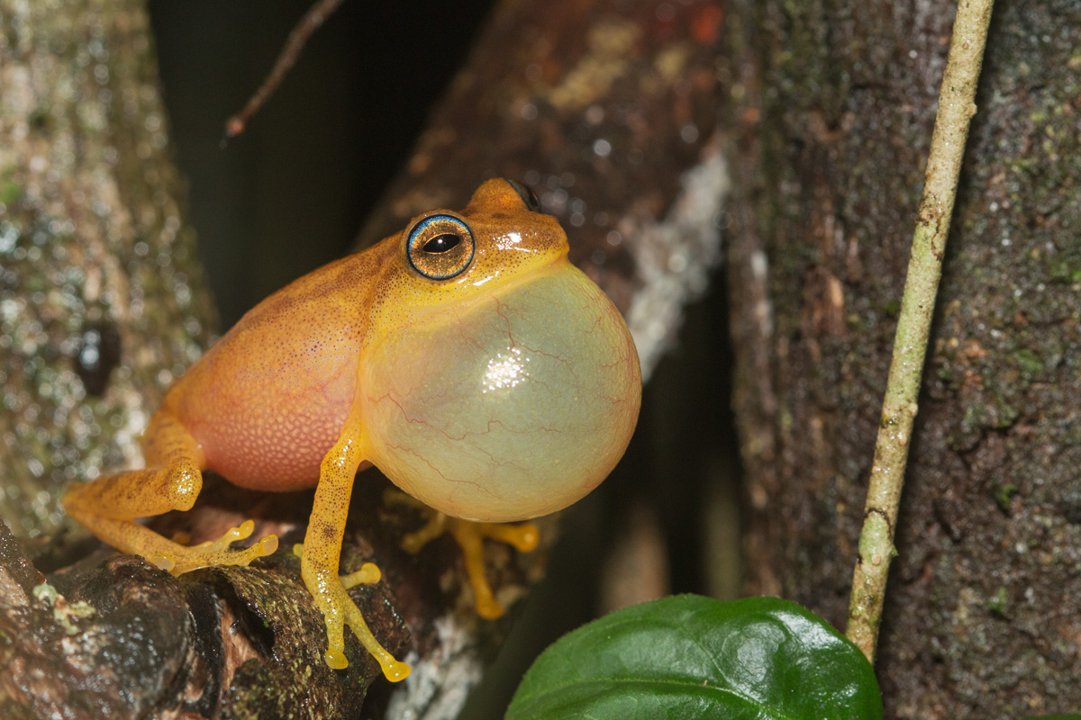 Yellow Bush Frog (Raorchestes luteolus)