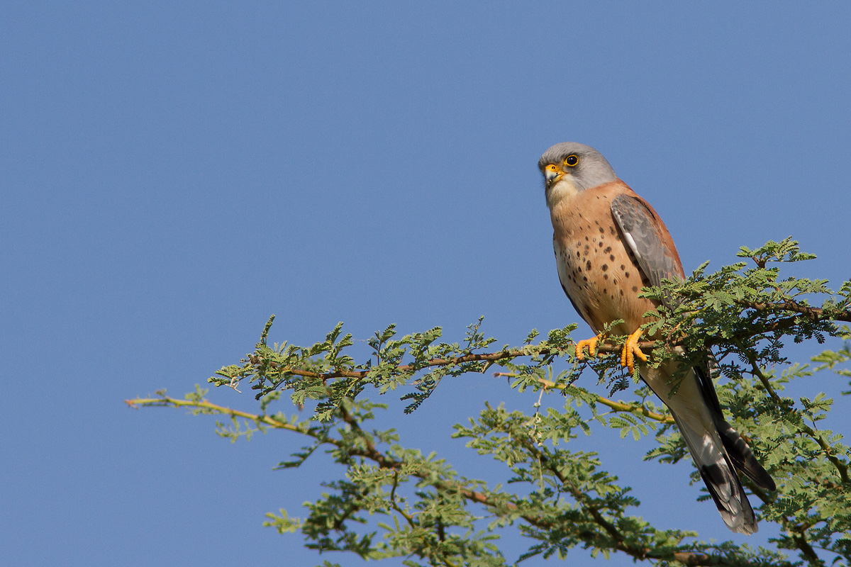 Lesser Kestrel - Male